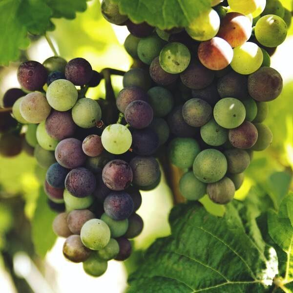 Выставка винограда в Аптекарском огороде